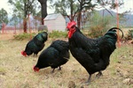 Backyard-chooks_1.jpg