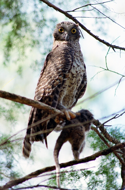 Powerful_Owl.jpg