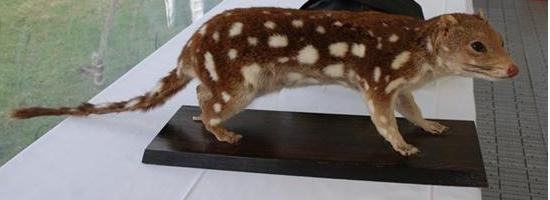 Spotted_Quoll.jpg