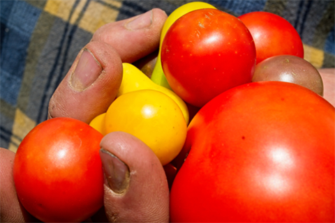 hand full of tomatoes